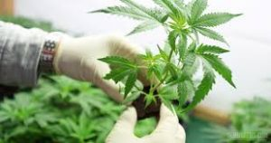 La Ley de cannabis medicinal, ¿en qué quedó?